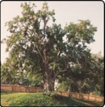 Gettysburg Honey Locust Tree - Lincoln Address